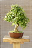 Bonsai maple tree Royalty Free Stock Photography