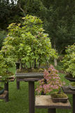 Bonsai maple trees in the garden Stock Photo