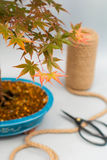 Bonsai maple with red and yellow leaves on light gray background. Royalty Free Stock Photography