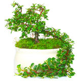 Bonsai medlar Royalty Free Stock Images