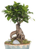 Bonsai mini. Ginepro bonsai, oriental plants, spiritual art Royalty Free Stock Image