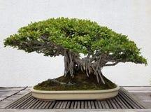 Free Bonsai Miniature Banyan Tree Stock Photo - 77494580