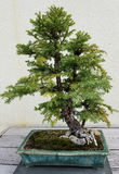 Bonsai miniature evergreen tree Stock Photography