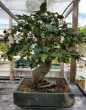 Bonsai miniature ficus tree stock photography