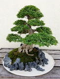 Bonsai miniature ficus tree royalty free stock photos