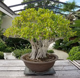 Bonsai miniature ficus tree Stock Photo