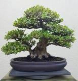 Bonsai miniature ficus tree Stock Images