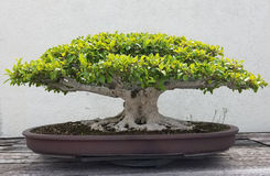 Bonsai miniature ficus tree Stock Photos