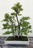 Bonsai miniature ficus trees stock image