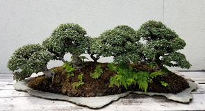 Bonsai miniature forest Royalty Free Stock Images