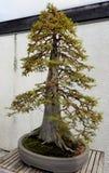 Bonsai miniature juniper Stock Image