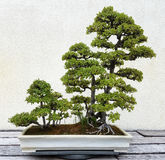 Bonsai miniature landscape with trees Royalty Free Stock Image