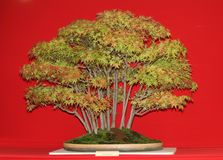 Bonsai Miniature Tree. Royalty Free Stock Image