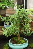 Bonsai miniature tree Stock Images