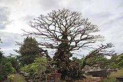 Bonsai or miniature tree Stock Photos