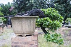 Bonsai or miniature tree Royalty Free Stock Image