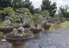 Bonsai or miniature tree Royalty Free Stock Photos