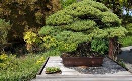 Bonsai miniature tree Royalty Free Stock Photos