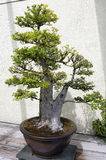 Bonsai miniature tree Stock Photos