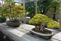 Bonsai miniature trees Royalty Free Stock Photography