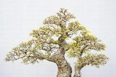 Bonsai. Miniature bonsai trees used for decoration Royalty Free Stock Photos