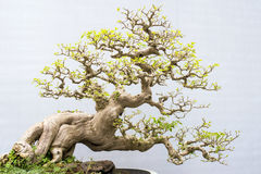 Bonsai. Miniature bonsai trees used for decoration stock photography