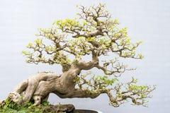 Bonsai. Miniature bonsai trees used for decoration Stock Photography