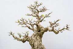 Bonsai. Miniature bonsai trees used for decoration royalty free stock images