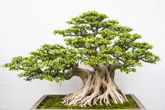 Bonsai. Miniature bonsai trees used for decoration stock image