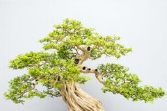 Bonsai. Miniature bonsai trees used for decoration Royalty Free Stock Image