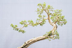 Bonsai. Miniature bonsai trees used for decoration royalty free stock photo