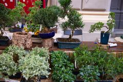 Bonsai are miniature trees, which are intentionally kept dwarfs, even for many years, through pruning and root reduction. Bonsai species Ulivo, Ilex Crenata royalty free stock photography