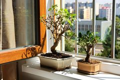 Bonsai mulberry and fig tree Stock Image