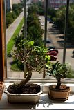 Bonsai mulberry and fig tree Royalty Free Stock Photo