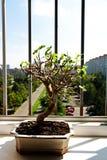 Bonsai mulberry Royalty Free Stock Photography