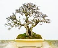 Bonsai naakte boom royalty-vrije stock fotografie