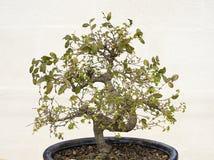 Bonsai naturali con le foglie verdi in una casa Immagine Stock Libera da Diritti