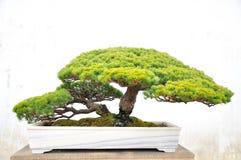 Bonsai nel giardino dell'amministratore umile fotografia stock libera da diritti