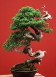Bonsai od jałowa na czerwonym tle Fotografia Stock
