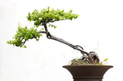Bonsai odizolowywający Zdjęcia Royalty Free