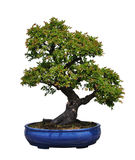 Bonsai Of Chinese Elm Stock Photos