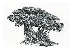 Bonsai, old tree ,Ficus with aerial roots. Tree bonsai,  a picture of a banyan tree, oriental style, black and white,  drawing pen Royalty Free Stock Photos