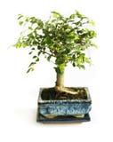 Bonsai op een wit Royalty-vrije Stock Afbeeldingen
