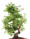 Bonsai op wit Stock Afbeeldingen