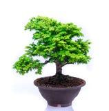 Bonsai op witte achtergrond Royalty-vrije Stock Fotografie