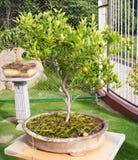 A bonsai orange tree in Ramoji Filmcity, Hyderabad. Stock Image