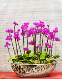 a bonsai of orchid  flowers in pot Stock Photos