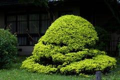 Bonsai oriental verdoyant Stock Image