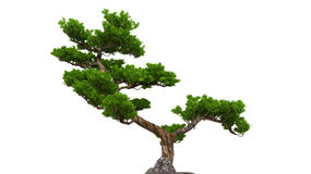 Bonsai over white Stock Photos