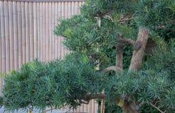 Bonsai på bakgrunden av bambustaketet i kinesisk stil Royaltyfri Fotografi